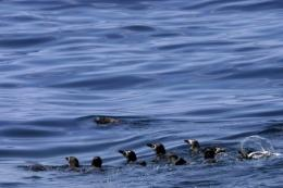 Magellanic penguins swim off the coast of Santos, Sao Paulo, Brazil