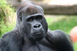 Malaria parasite crossed to Man from gorilla: scientists