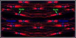 Membrane molecule keeps nerve impulses hopping