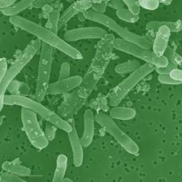 Microbes produce fuels directly from biomass