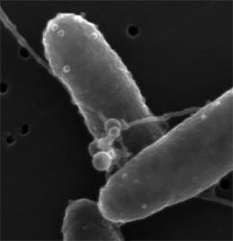 Microbial hair -- it's electric: Specialized bacterial filaments shown to conduct electricity