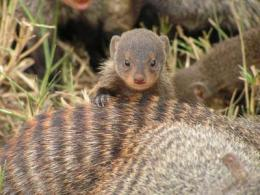 Mongoose traditions shed light on evolution of human culture