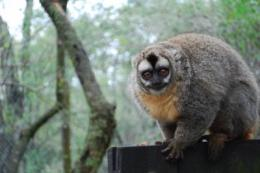 Moonstruck primates: Owl monkeys need moonlight as much as a biological clock for nocturnal activity