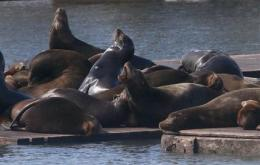 Most sea lions gone from Ore. coast (AP)