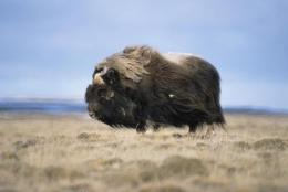 Musk ox population decline due to climate, not to humans, study finds