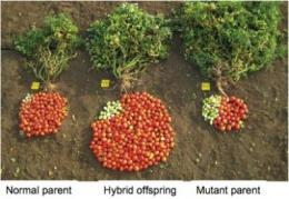 Mutation in 1 Copy of the SFT Gene Drives Hybrid Vigor in Tomatoes