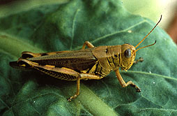 New fungi could curb grasshopper populations
