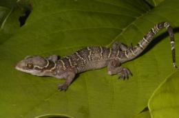 New gecko species identified in West African rain forests
