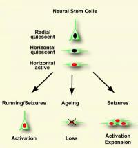 New nerve cells -- even in old age