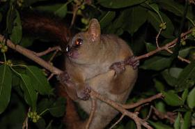 New population of rare giant-mouse lemurs found in Madagascar