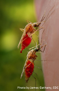 New study examines immunity in emerging species of a major mosquito carrer of malaria