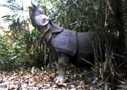Officials scramble to save endangered Javan rhinos (AP)
