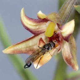 Orchid tricks hoverflies: Eastern marsh helleborine mimics aphid alarm pheromones to attract pollinators