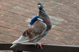 Pigeon 'backpacks' track flock voting