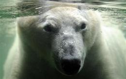 Polar bear ban defeated at UN conservation meeting (AP)