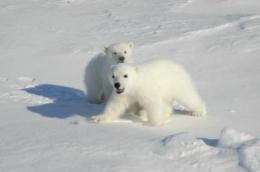 Polar bear droppings advance superbug debate