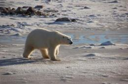 Polar bears still on thin ice, but cutting greenhouse gases now can avert extinction