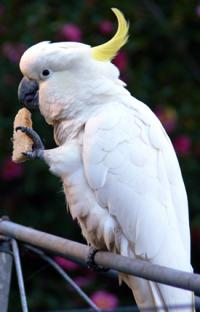 Polly picks a preference: Parrots reveal link from the eye to the foot