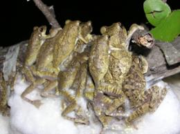Promiscuity pays in the frog world