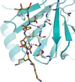 Protein structure reveals how tumor suppressor turns on and off