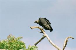 Rapid test to save Indian vultures from extinction