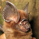 Rare bat found in oil palm plantation's oasis
