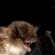 Rare native bat 'missing' in Ireland since 2003