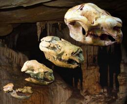 Remarkable fossil cave shows how ancient marsupials grew