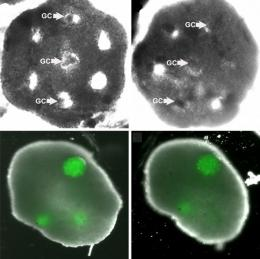 Researchers build 'artificial ovary' to develop oocytes into mature human eggs