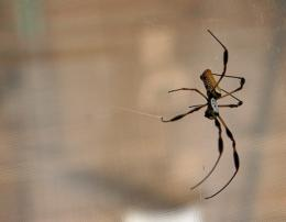 Researchers hope to harness power of spider silk