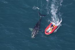Sedation used successfully to disentangle North Atlantic right whale