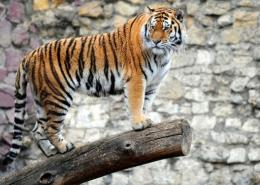 Russia is the only country to have seen its tiger population rise in recent years