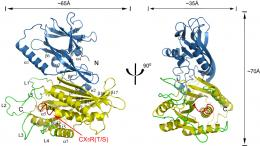 Cornell researchers reveal structure of key protein