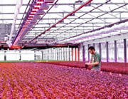 Saving greenhouse power with LED light
