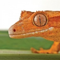 Scientific showdown between gecko researchers