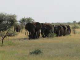 Seeing double: Africa's 2 elephant species