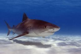 Sharks and wolves: Predator, prey interactions similar on land and in oceans