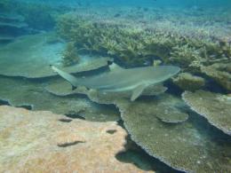 Shark tracking reveals impressive feats of navigation