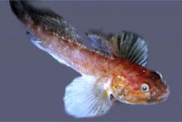 Small fish exploits forbidding environment