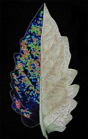 Smart fungus disarms plant, animal and human immunity