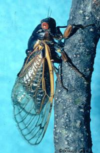 Some Iowa cicadas make unexpected appearance four years ahead of schedule