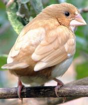 Songbirds provide insight into speech production (w/ Video)