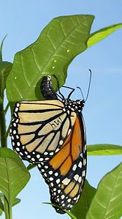 Study finds monarch butterflies use medicinal plants to treat offspring for disease