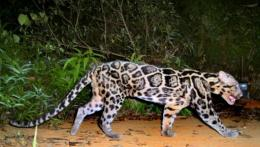 Sunda clouded leopard is a different subspecies from its Indonesian relative, researchers say