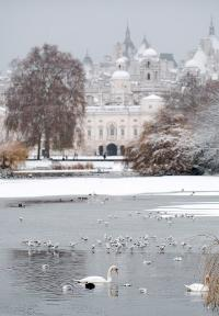 Swans swim in Saint James' Park's lake