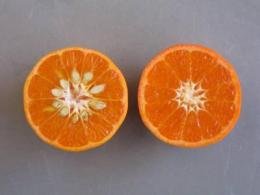 Tango mandarins to appear this month in produce aisles
