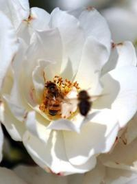 The best thing to help bees survive, say scientists is to try to limit habitat destruction