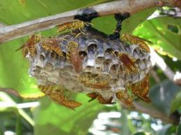 The making of a queen: Road to royalty begins early in paper wasps