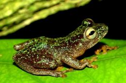 The three discoveries include thr Omaniundu reed frog