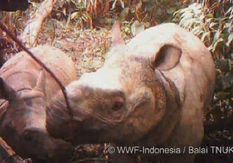 This handout photo released by WWF shows a video grab of a Javan rhino and a male calf on Java island, Indonesia